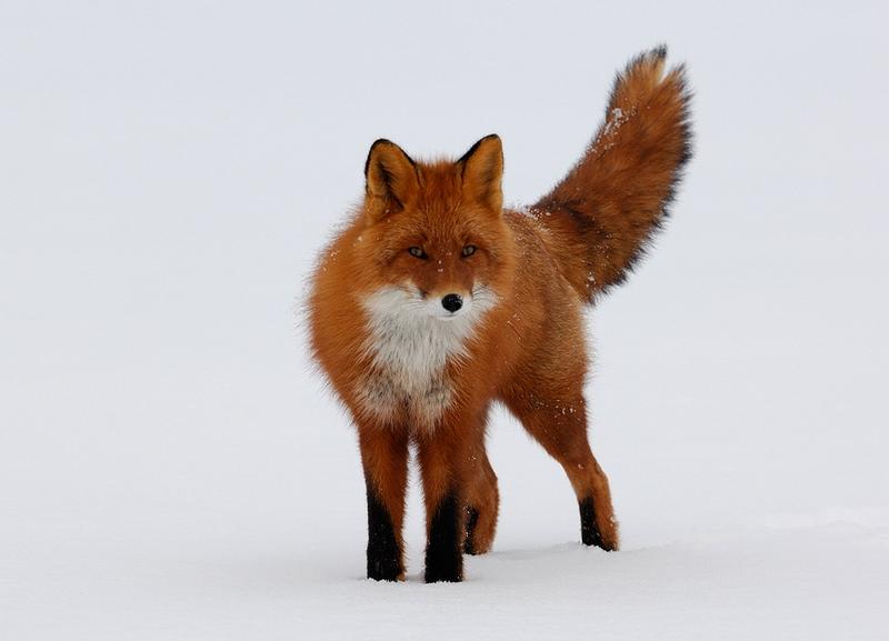 fox1-9